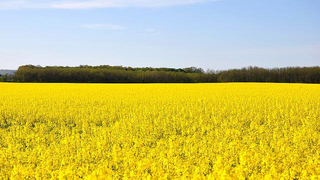 Spring, Canola Field, Yellow, Nature