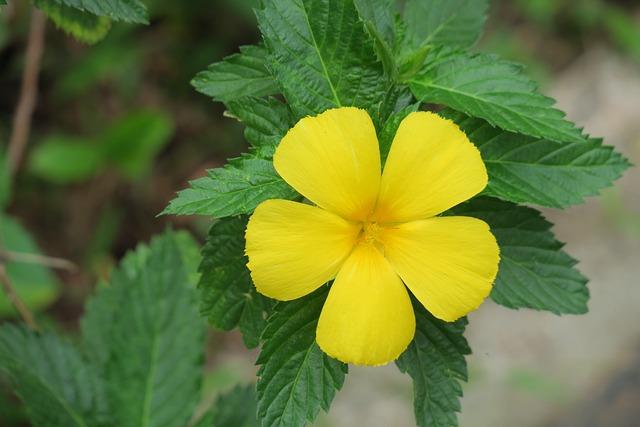 Yellow Clock Flower, Nature, Plant, Leaf, Summer