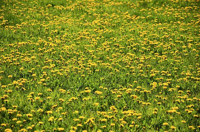 Dandelion Meadow, Dandelion, Meadow, Yellow, Nature