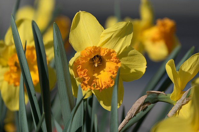 Flower, Yellow Flower, Daffodil, Flower Blossom, Nature