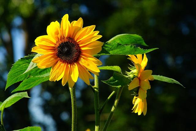 Flower, Sun Flower, Late Summer, Yellow, Nature