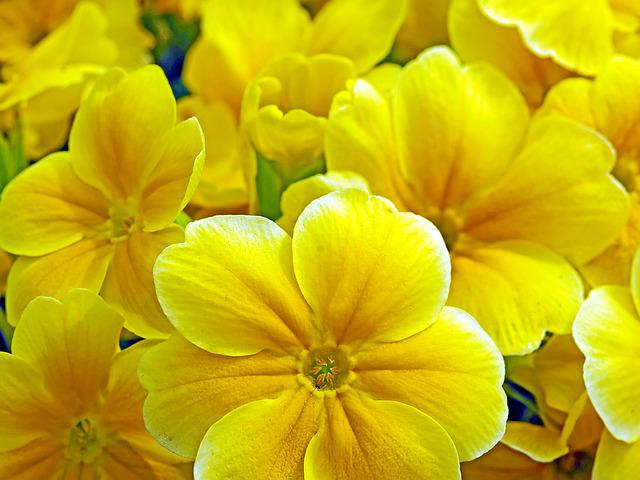 Primroses, Spring Flowers, Yellow, Spring, Nature