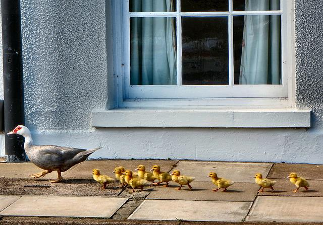 Ducks, Ducklings, Walking, Nature, Bird, Young