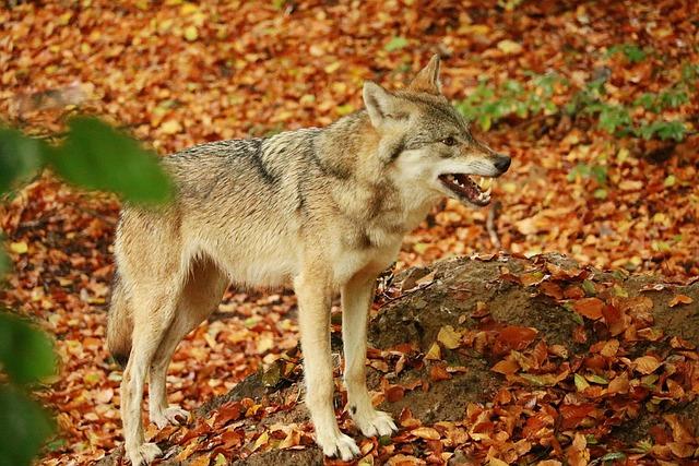 Wolf, Dog, Nature, Carnivores, Animal, Predator, Zoo