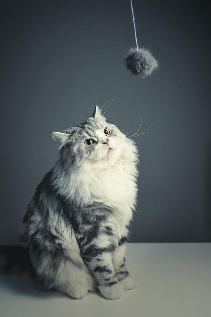Cat, Persian Breed, Black Grey, Pets, Naughty