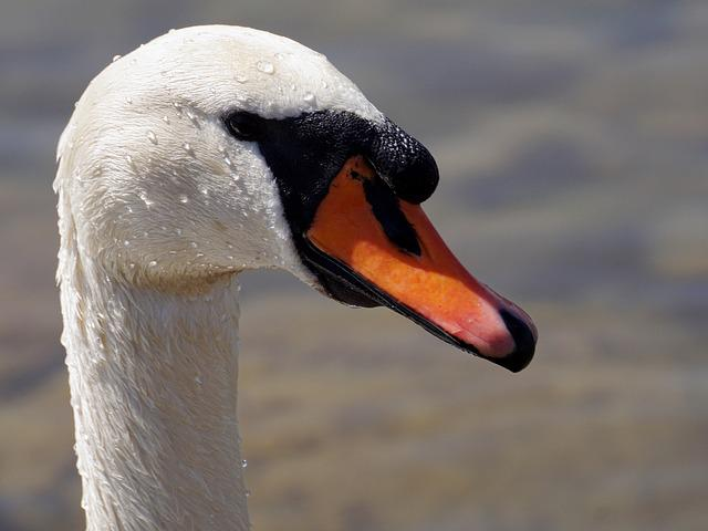 Swan, Bird, Animal World, Nature, Neck, Bill, Waters