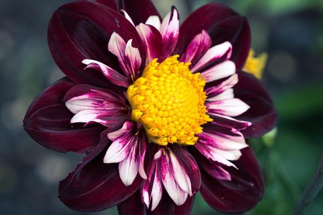 Dahlia Hortensis, Dahlia, Neck Frills-dahlia, Blossom
