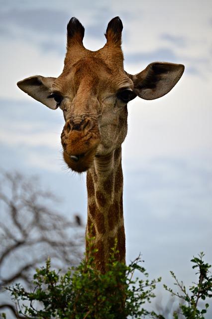 Giraffe, Curious, Africa, Neck, Ossicones, Eyelashes