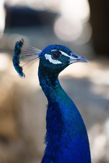 Birds, Animal Life, Animals, Nature, Peacock, Neck