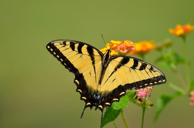 Swallowtail Butterfly, Insect, Summer, Yellow, Nectar