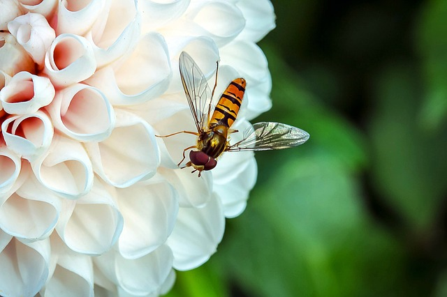Hover Fly, Insect, Animal, Fly, Mist Bee, Nectar Search