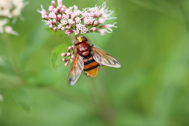 Hoverfly, Insect, Hornet Hover Fly, Macro, Wing, Nectar