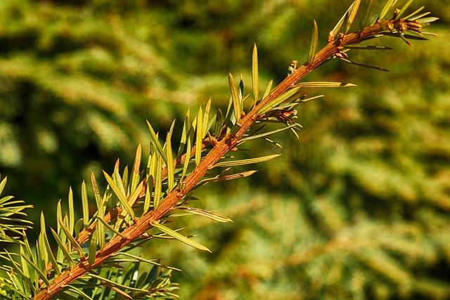Tree, Nature, Needle, Flora, Evergreen, Closeup, Branch