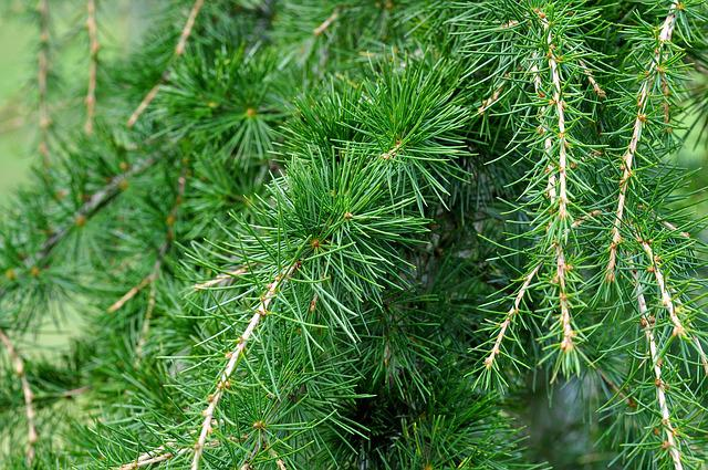 Cedar, Cedar Branch, Branch, Needle, Conifer, Tree