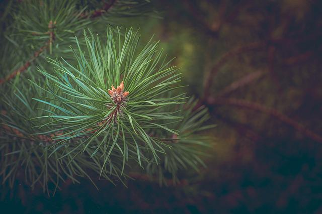 Pine, Forest, Branch, Road, Conifer, Needles, Tree