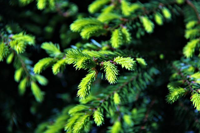 Needles, Green, Handsomely, Branch, Spruce, Nature