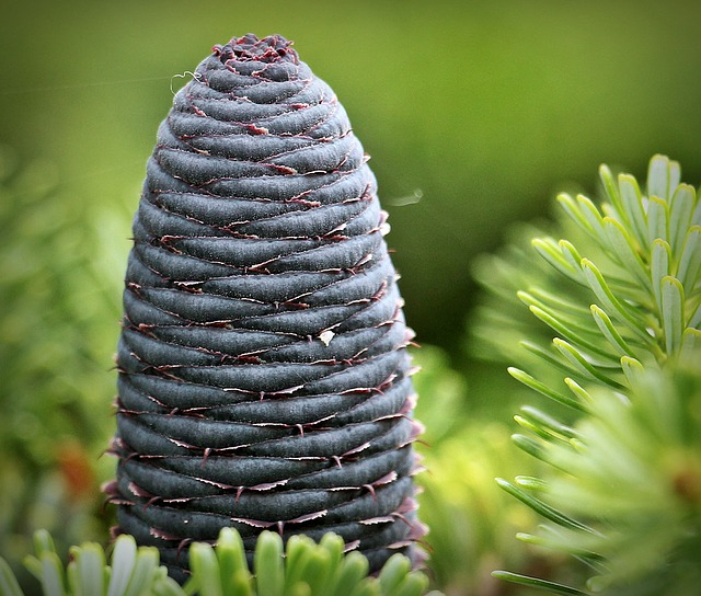 Fir, Pine Cones, Blue Tap, Needles, Tap, Conifer, Green