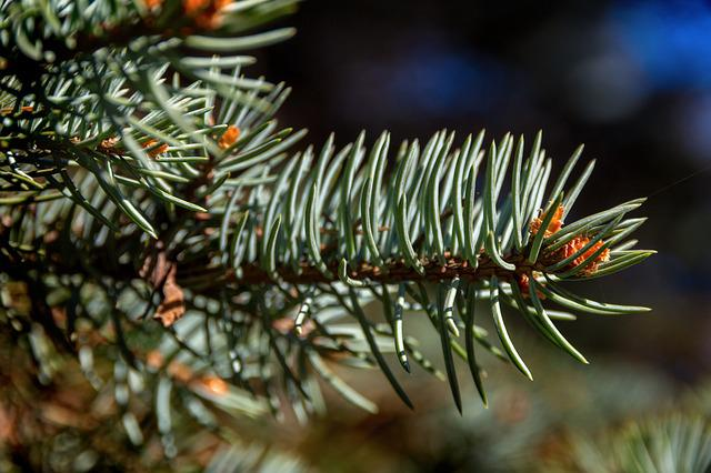 Spruce, Needles, Forest, Green, Pine, Blue Spruce
