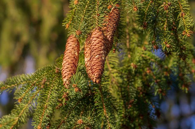 Pine Cones, Tree, Tap, Nature, Forest, Needles, Conifer