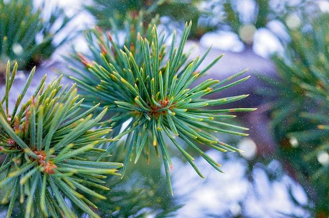 Plant, Tree, Needles, Conifer, Green, Cedar, Winter