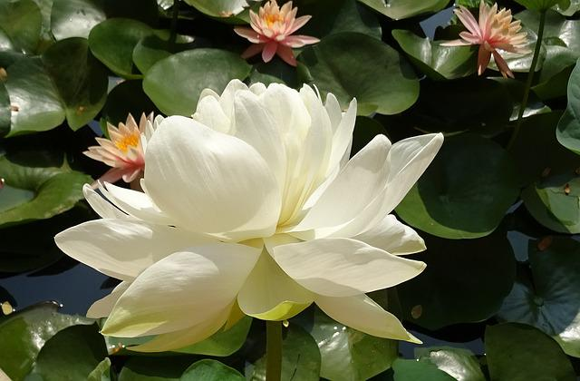 Lotus, Flower, Nelumbo Nucifera, Water, Garden, Bloom