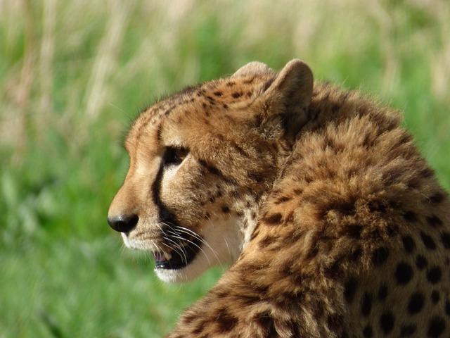 Cheetah, Feline, Park Felines, Nesles