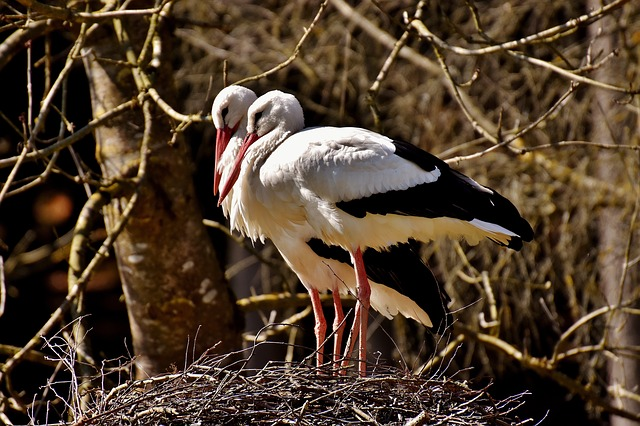 Storks, Nest Building, Pair, Birds, Nest, Build