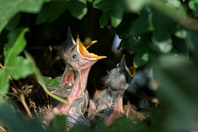 Hatchlings, Birds, Nest, Blackbirds, Baby Birds