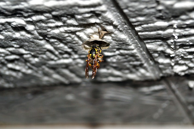 Wasp Queen, Queen, Wasp, Nest Building, Nature