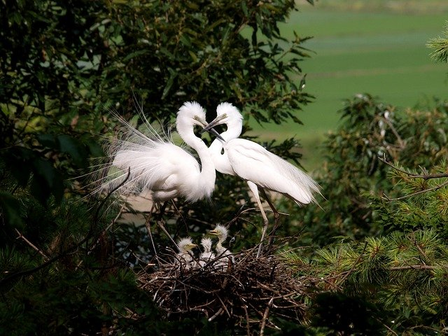 Egret, Herons, Chicks, Nest, Tree, Birds, Love, Couple