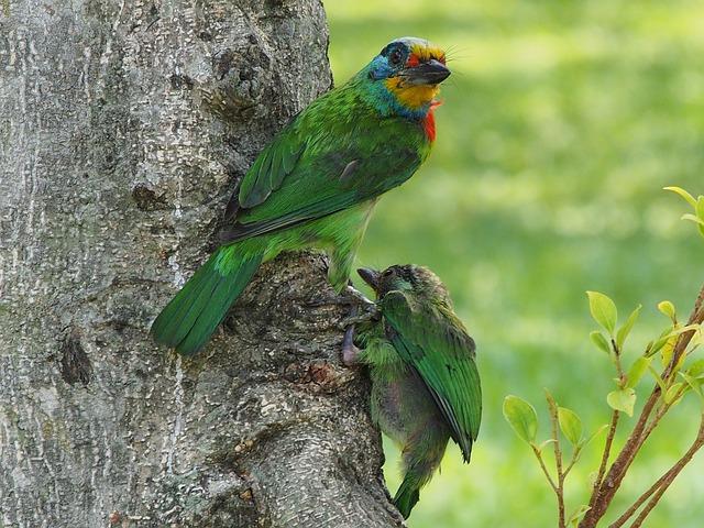 Colored Birds, Monk, Quasi Woodpecker, Nestling