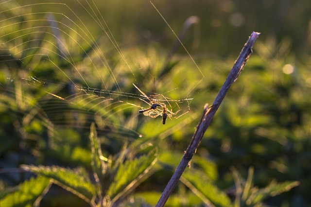 Spider, Cobweb, Mosquito, Eat, Cobwebs, Network, Insect