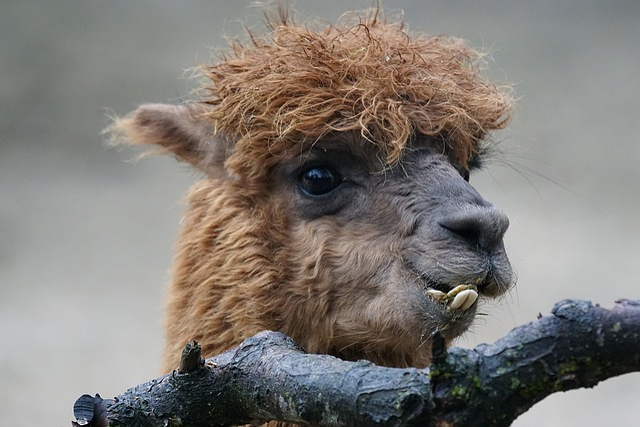 Alpaca, Vicunia Pacos, Pako, Neuweltkamel, Ruminant