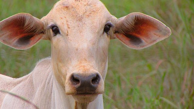 Boi, Cow, New Plateau, Lawn, Animalia, Farm