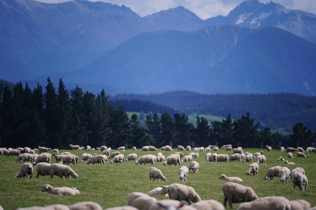 Sheep, New Zealand, Farm, Agriculture, Landscape, Lamb
