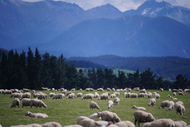 Sheep, New Zealand, Farm, Agriculture, Landscape, Lamb