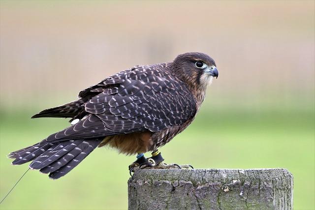 New Zealand Falcon, Falcon, Bird, Avian, Nature, Prey