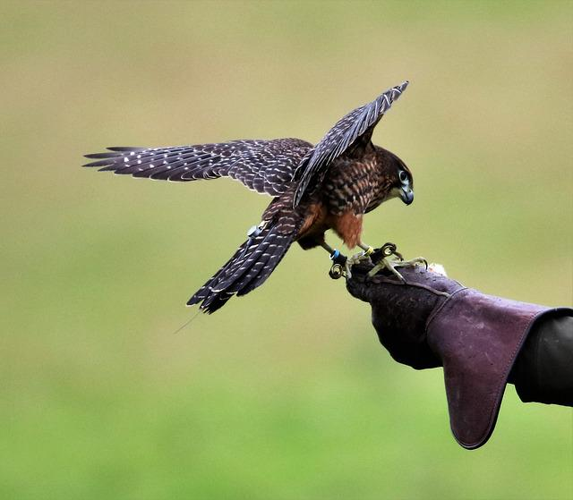 New Zealand Falcon, Falcon, Bird, Wildlife, Nature