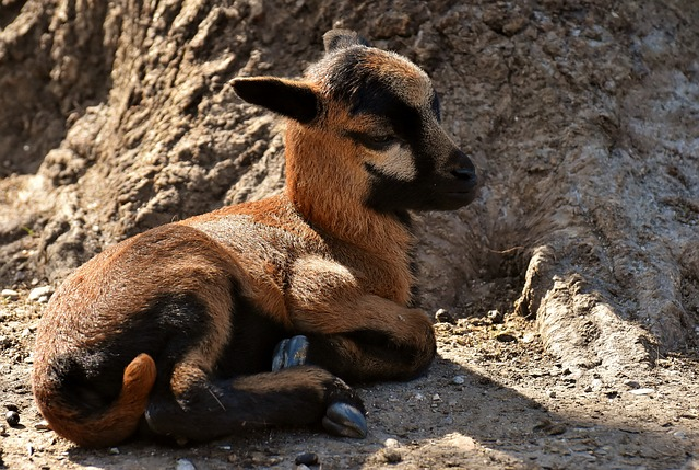 Sheep, Reborn, Young Animal, Newborn, Cute
