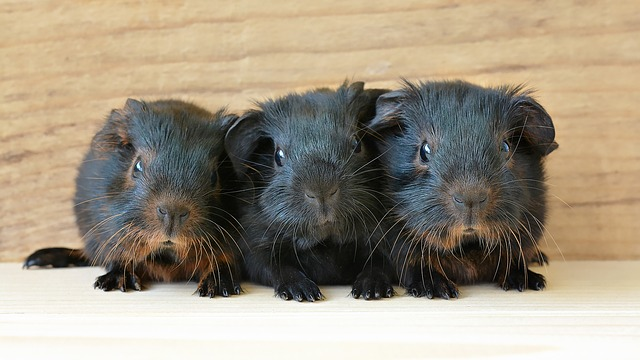 Guinea Pig, Baby Guinea Pigs, Young Animals, Newborn