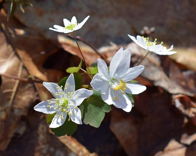 Rue Anemone, Wildflower, Flower, Newly-open, Sunshine