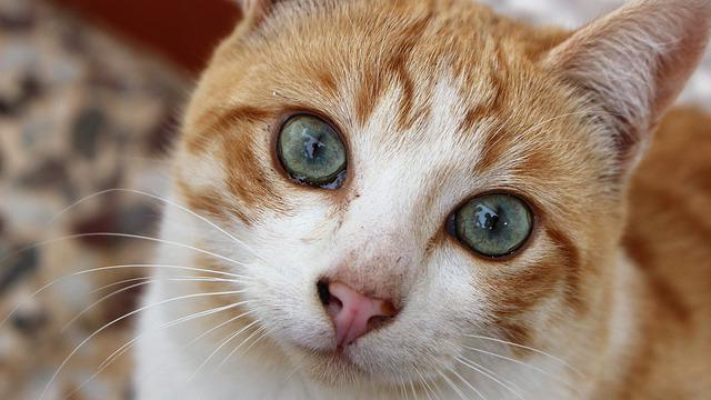 Nice, Animalia, Cat, Pet, Portrait, Look, Domestic, Eye