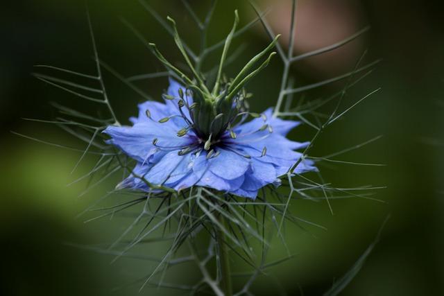 Nigella Damascena, Juffertje In Het Groen, Garden Plant