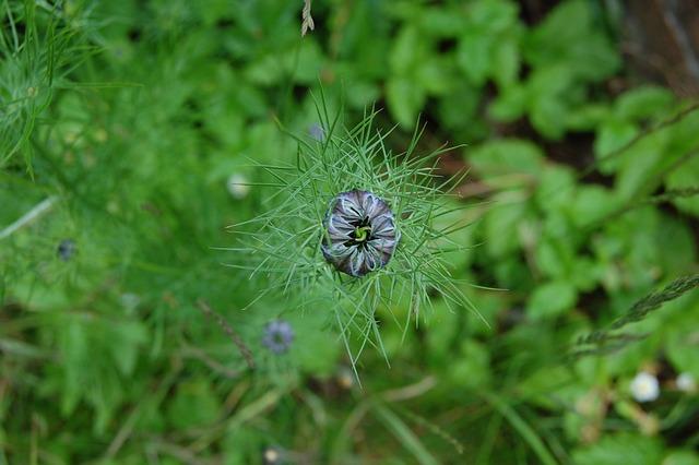 Flower, Bud, Hatching, Nigella, Garden, Country, Wild