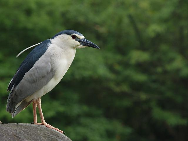 Night 鷺, Daan Forest Park, Catch Fish