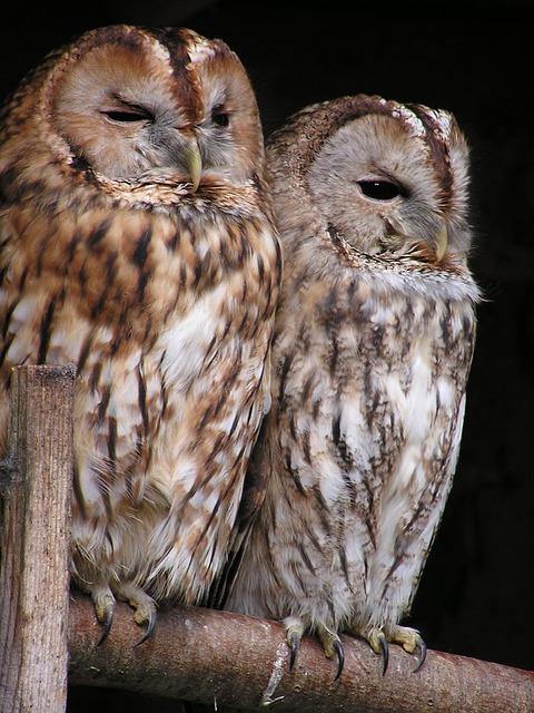Tawny Owl, Owl, Bird, Birds, Night Active