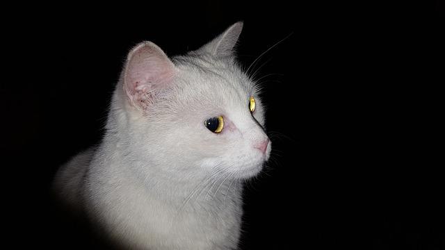 White Cat, Night, Cat