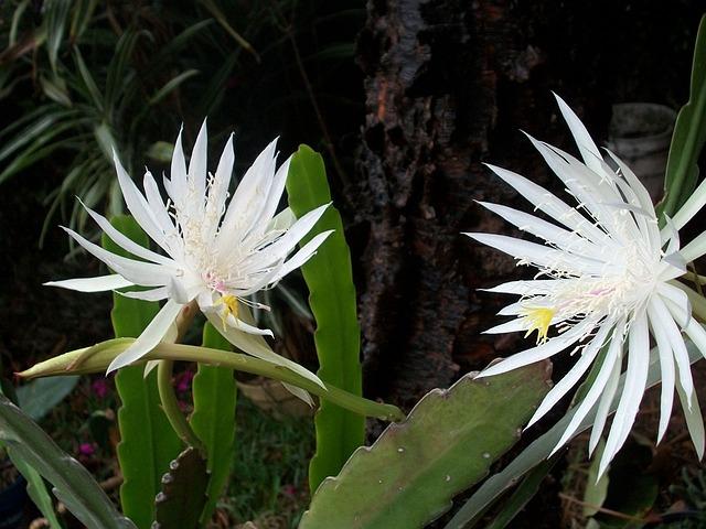 Night-blooming Cereus, Dutchman's-pipe Cactus