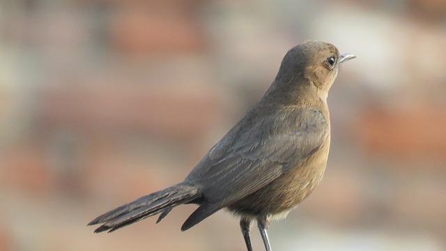 Nightingale Bird, Nightingale, Bird, Nature, Sing
