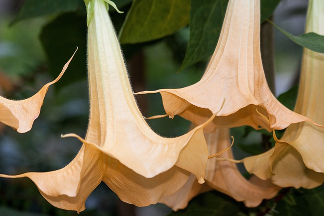 Angel Trumpets, Brugmansia, Genus, Family, Nightshade